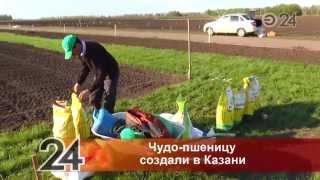 видео История селекции пшеницы на Кубани