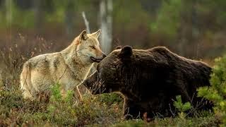 Неожиданная встреча медведя и волка потрясла весь мир. То что произошло потом, просто невероятно...