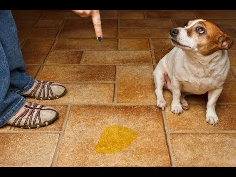 santo remedio para ahuyentar y evitar que tu perro se orine donde
