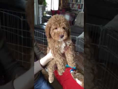 Maddie Bailey Goldendoodles