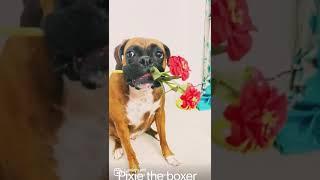 Pixie the boxer dog #boxerdog #doglove