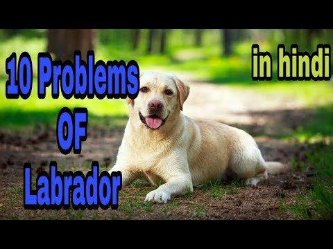 10 problems of labrador in hindi