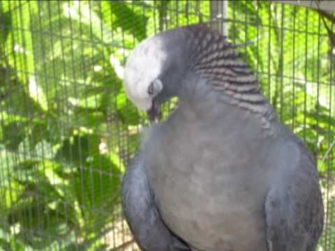 White crowned pigeon - photo#47