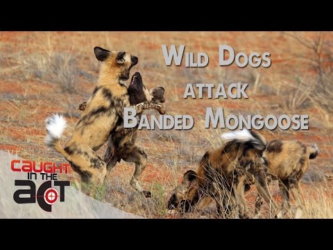 Dogs vs Mongoose | CAUGHT IN THE ACT