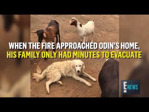 """Odin"" hero dog saves goats, fawns from CA wildfire"