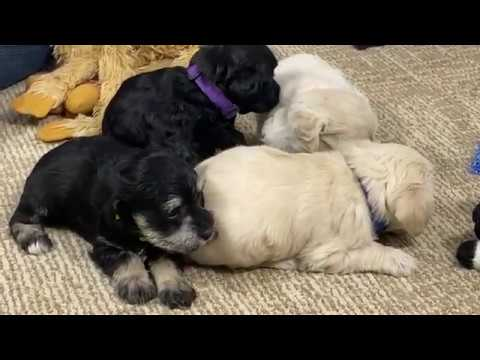 Prissy's schnoodle puppies April 30, 2020