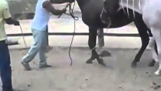 Horse mating - animal mating