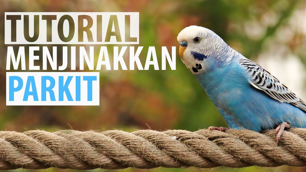 Tutorial Menjinakkan Burung Parkit Cara Cepat Youtube