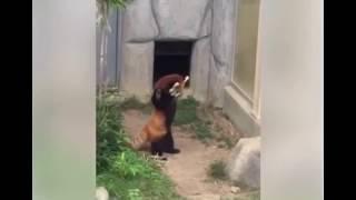 PANDA VERMELHO SE ASSUSTA COM PEDRA
