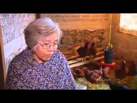 ¿Cómo puedo obtener gallinas ponedoras?