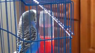 Говорящий волнистый попугай Кеша и Кот Барсик||Кешка разговаривает||Прикольный попугай