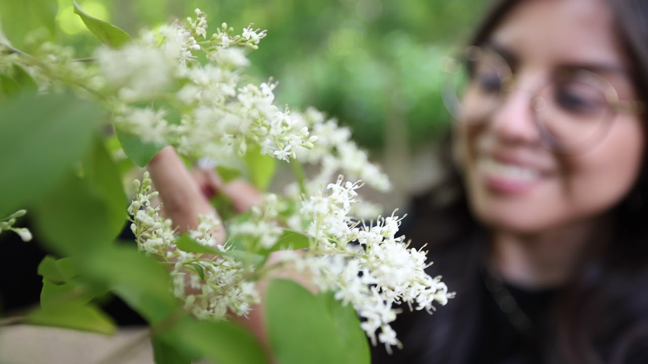 Download Chinese Privet - The Worst Invasive Weed in the southeastern US