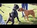 Cane Corso vs Amstaff - Dog Videos [Mr Friend]