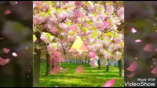 It's spring time(Sakura and chiba sakura-Cherry Blossoms and pink c...
