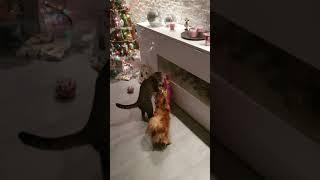 Чихуахуа Арчи и кот Феликс