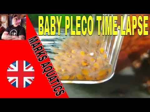 BRISTLENOSE PLECO GROWTH TIME-LAPSE SHORT VIDEO .