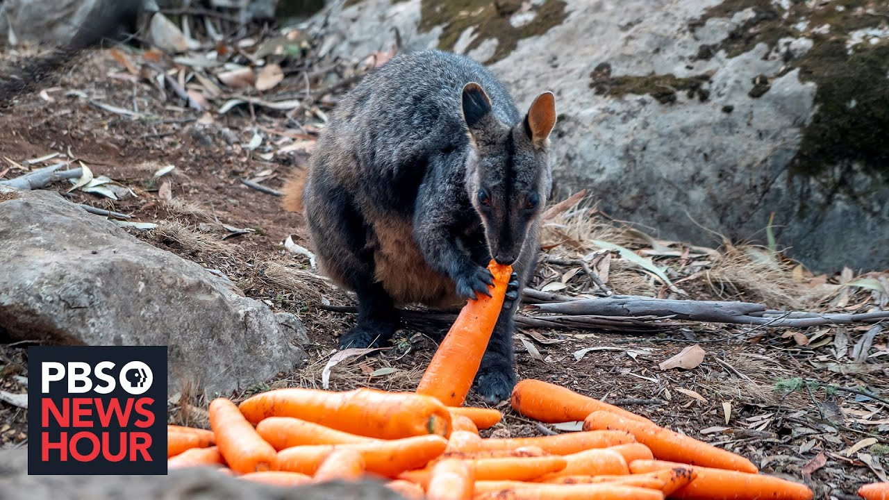 Wildlife experts rush to rescue Australian animals after bushfire crisis