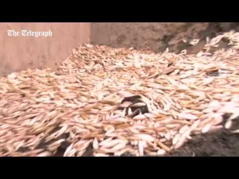 Mystery After Over A Tonne Of Dead Fish Wash Up On Shores Of Bolivian Lake