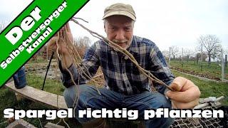 Spargel richtig pflanzen