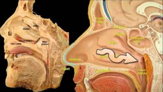 Why do we snore? The anatomy of snoring