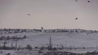 Нашествие хищных птиц на Жуковку. Керчь.
