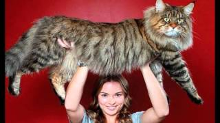 Самые большие кошки в мире!