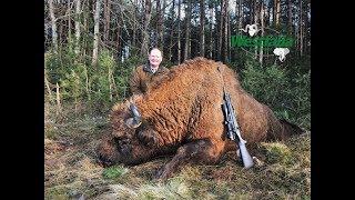 Hunt on European Bison in Belarus