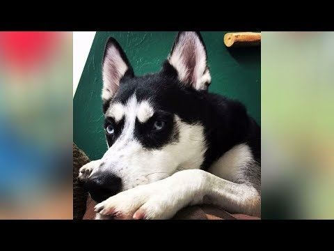 Utah dog owner facing charges after husky goes on 'killing spree'