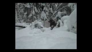 Video толкач на охоте с собакой