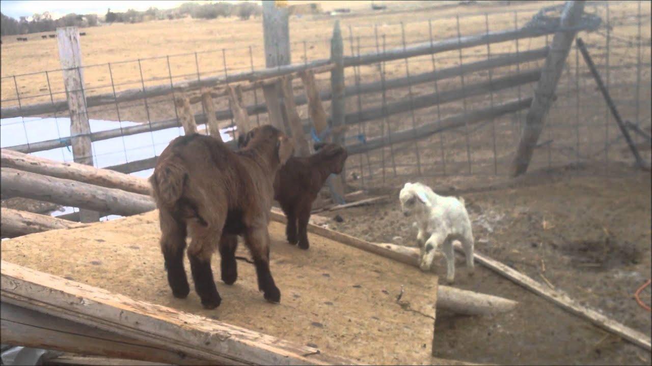 Nigerian Dwarf baby goats playing - YouTube |Baby Goats Playing Youtube