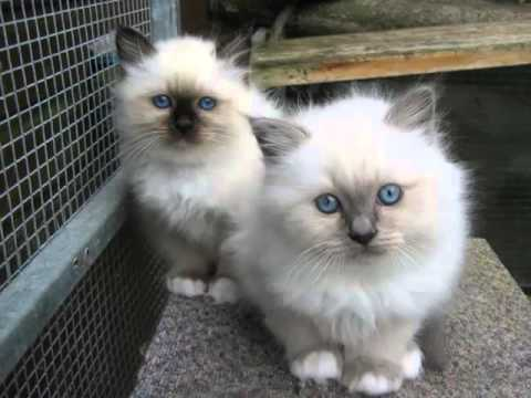 Birman | Set Of Cat Picture Collection