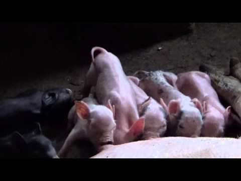 Chú Heo Con - Đàn Lợn Con mới đẻ Bú Mẹ