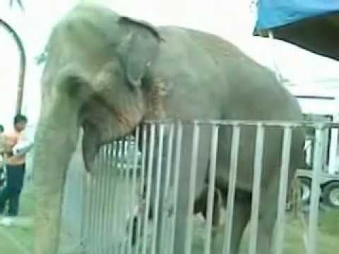 Video de Elefante Enfermo Del Forum International Circus