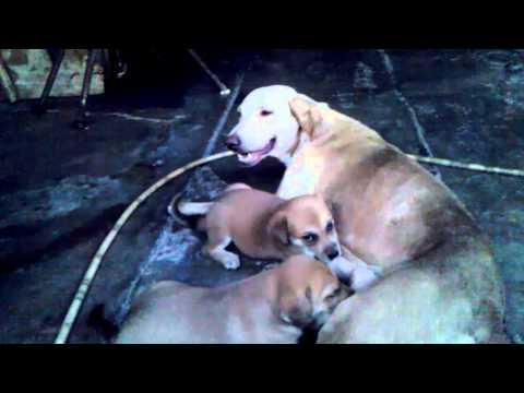 Perros tomando chichi de perra muy hermoso