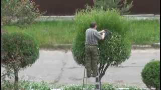 видео Шаровидные ивы: размножение, посадка и уход