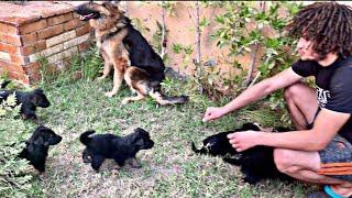 كلاب جيرمن شيبرد للبيع ب 1000ج 01012707442