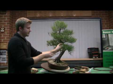 Bonsai Northwest Melbourne Bjorn Bjorholm demonstration Japanese Black Pine September 2015