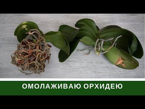 Омоложение Орхидеи  🌸 Как меня обманул ЦветкоFF Днепр отзыв  🌸 Как получить Детку на Пеньке