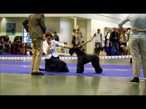 Kerry Blue Terrier Show, National Championship 2016_part 5  (males_champion NKP class)