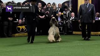 Afghan Hounds | Breed Judging 2019