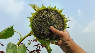 Collecting sunflower seeds//harvesting sunflower seeds//sunflower seed collection//how to collect