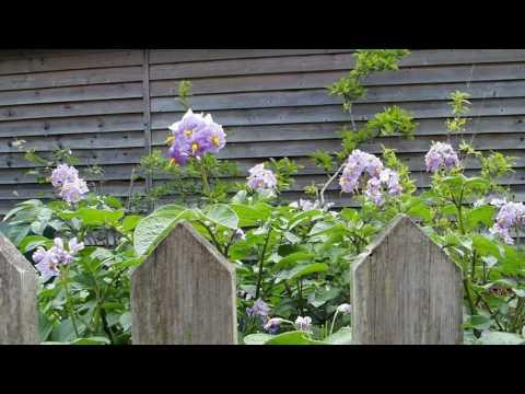Slow tv: Blue Danube potatoes flowering in the sunshine