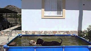 A Labrador And A Poodle Puppies Are Playing In The Pool