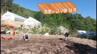 가족 총출동-돌밭에 고구마 심는 날//Planting …