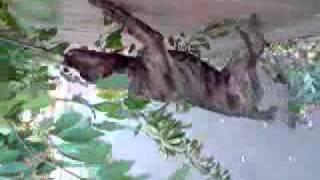 Rottweiler Cross Pitbull Attacking Tree