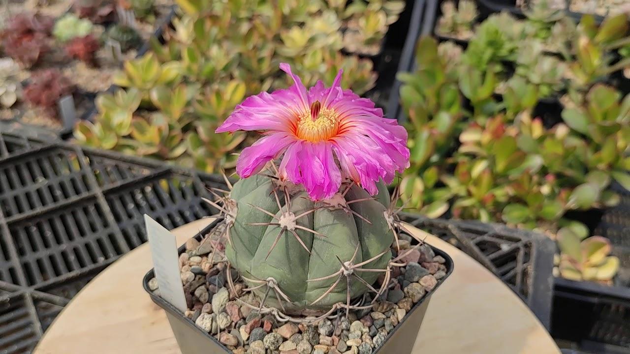 Echinocactus horizonthalonius - цветение кактуса