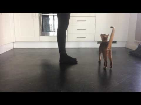 Clever cat doing tricks