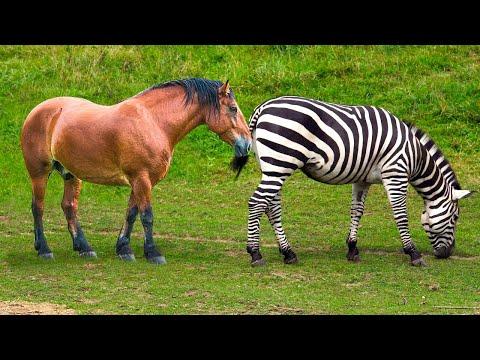 Zebra And Horse Meeting