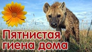Пятнистая гиена домашний щенок