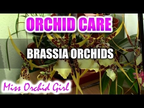 How to care for Brassia Orchids - watering, fertilising, reblooming